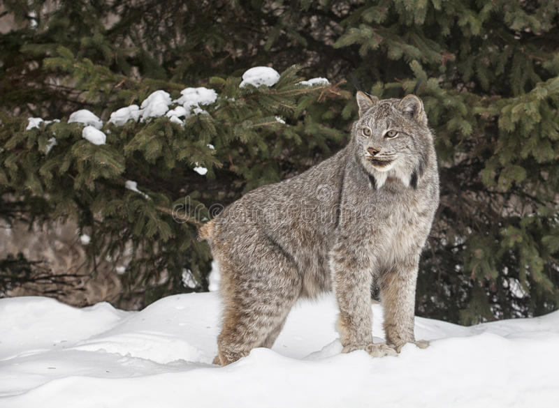Download Canadian Lynx Royalty Free Stock Photos - Image: 29369378