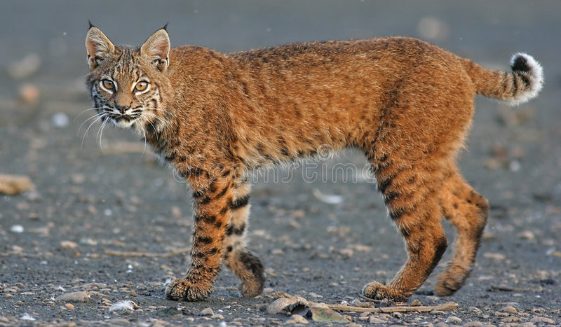 Canadian Lynx Stock Photography
