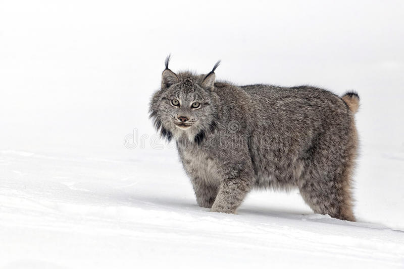 Lynx. Close up of an adult Canadian Lynx walking through the snow stock images