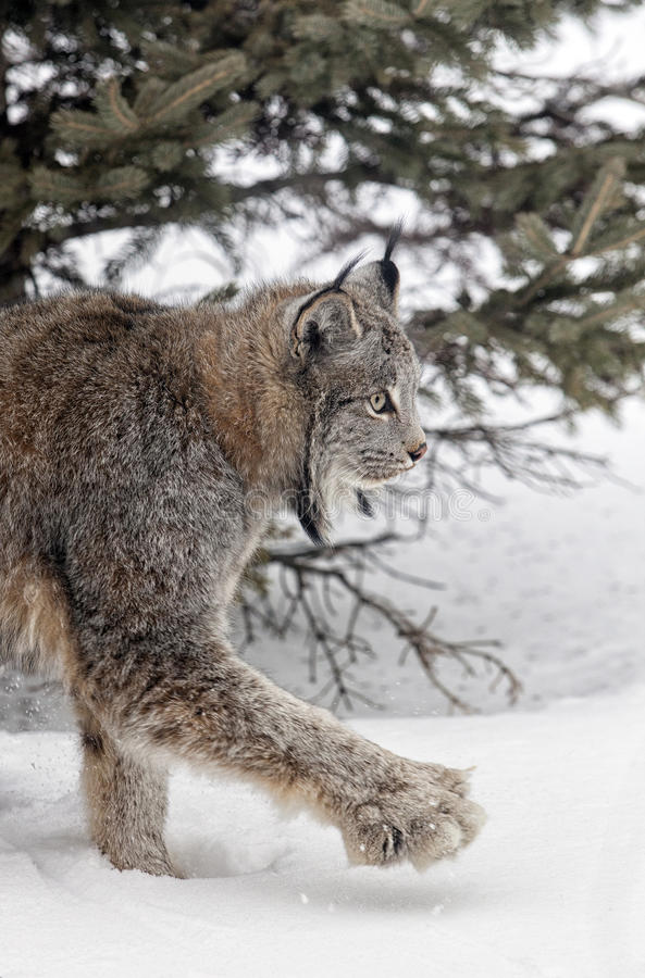 Download Lynx stock photo. Image of tree, feline, outdoors, nature - 32857524
