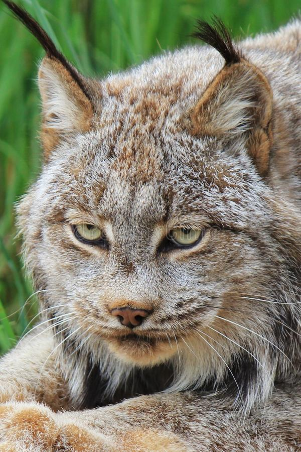 Canadian Lynx Head