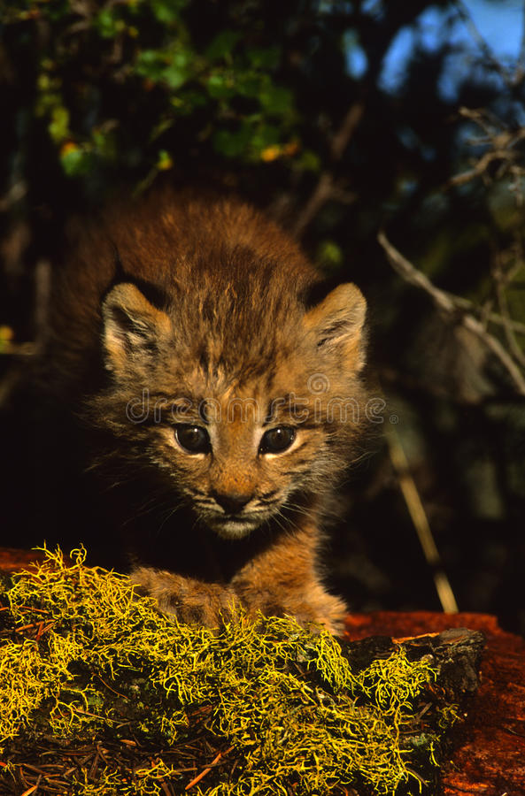 Download Canadian Lynx Kitten stock photo. Image of kitten, young - 14453948