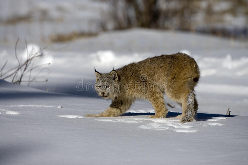 Download Canadian Lynx, Lynx Canadensis Stock Photo - Image of snow, winter: 34554706