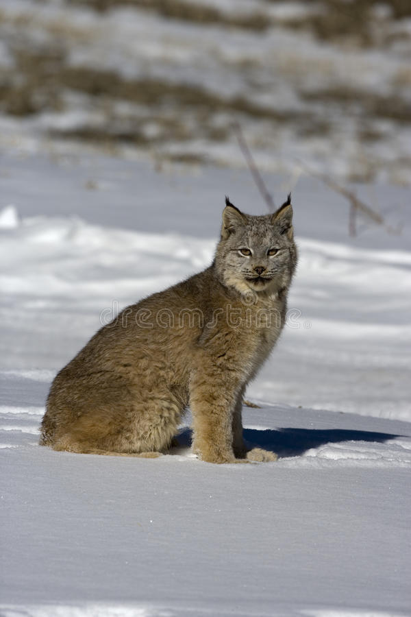 Download Canadian Lynx, Lynx Canadensis Stock Image - Image of winter, cold: 34554711