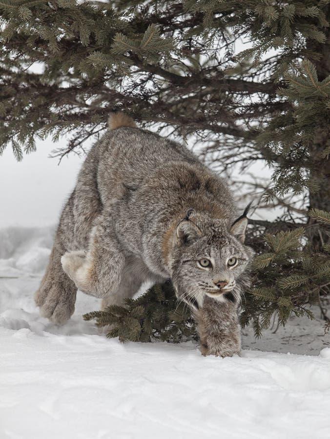 Download Lynx stock image. Image of nature, close, snow, season - 32857475