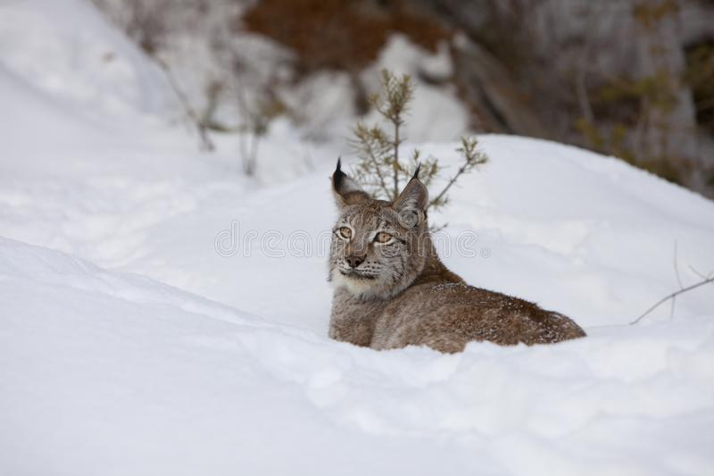 Download Canadian Lynx In Relaxed Stance Stock Image - Image of eurasian, snow: 8632683