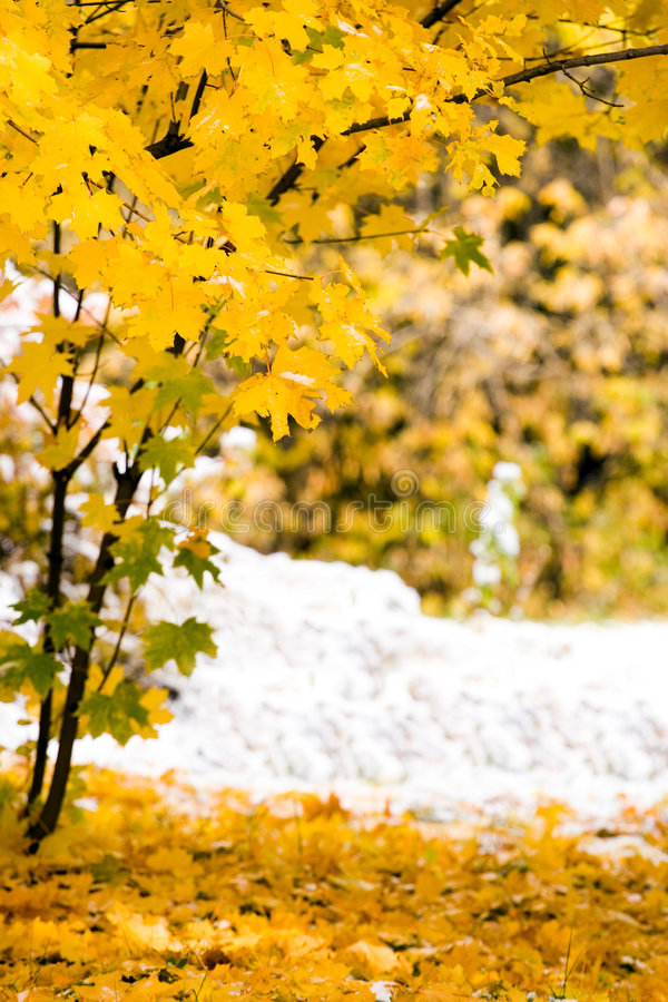 Download Canadian maple leaf stock image. Image of golden, canada - 3318927