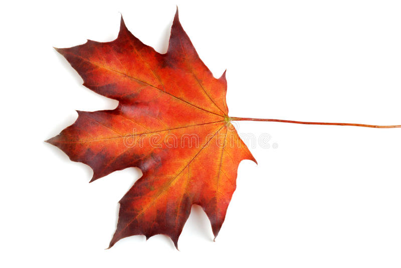 Canadian maple leaf in the autumn stock photos
