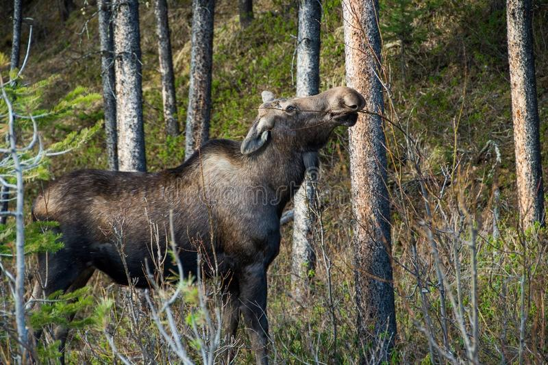 Canadian moose in the bushes. Moose eating branches in Canadian bush royalty free stock photos