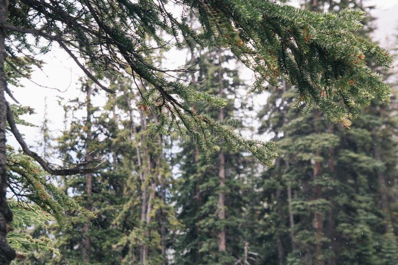 Canadian Rockies Snowing Pine Forest near Lake Louise. Canadian Rockies Snowing Pine Forest Lake Agnes Trail near Lake Louise stock photography
