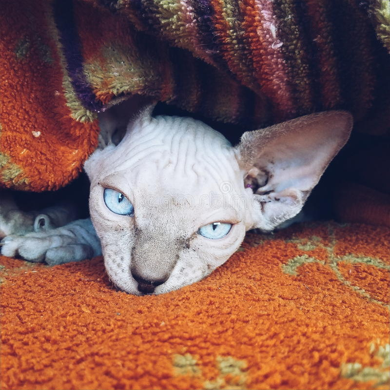 Canadian sphinx kitten royalty free stock photo