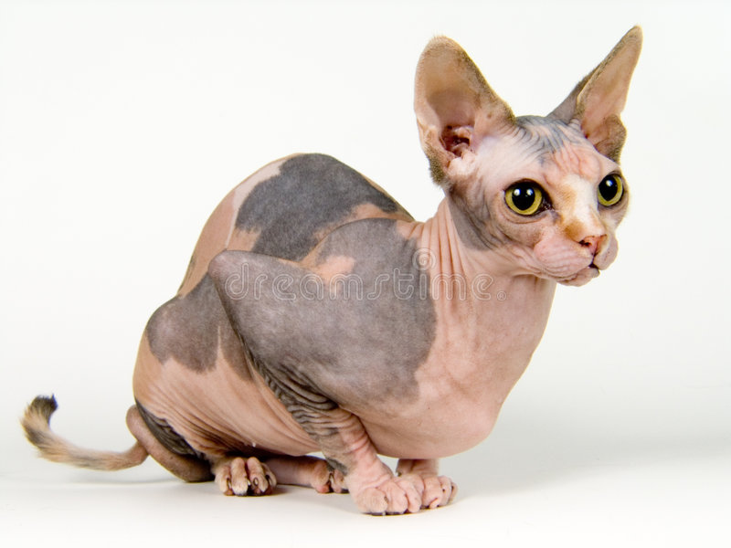 Canadian sphynx royalty free stock image