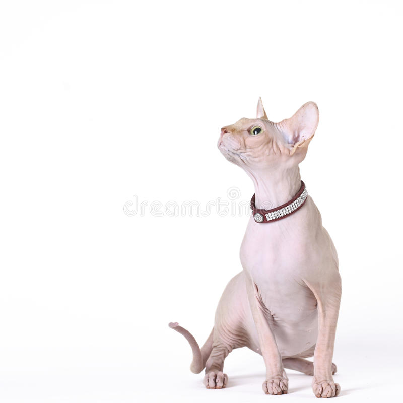 Canadian sphynx cat. At white background royalty free stock images