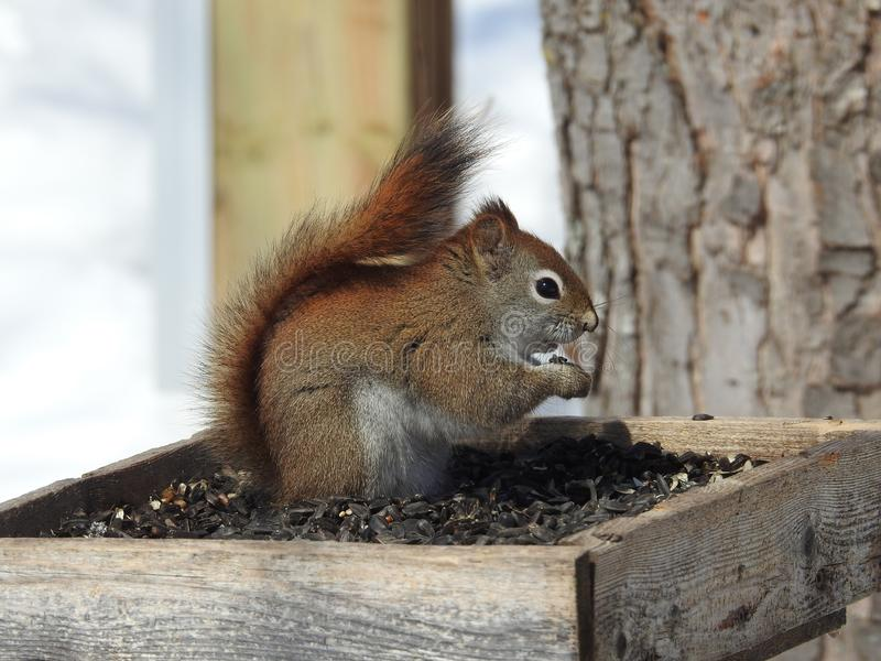 Canadian Squirrel winter munchies royalty free stock photos