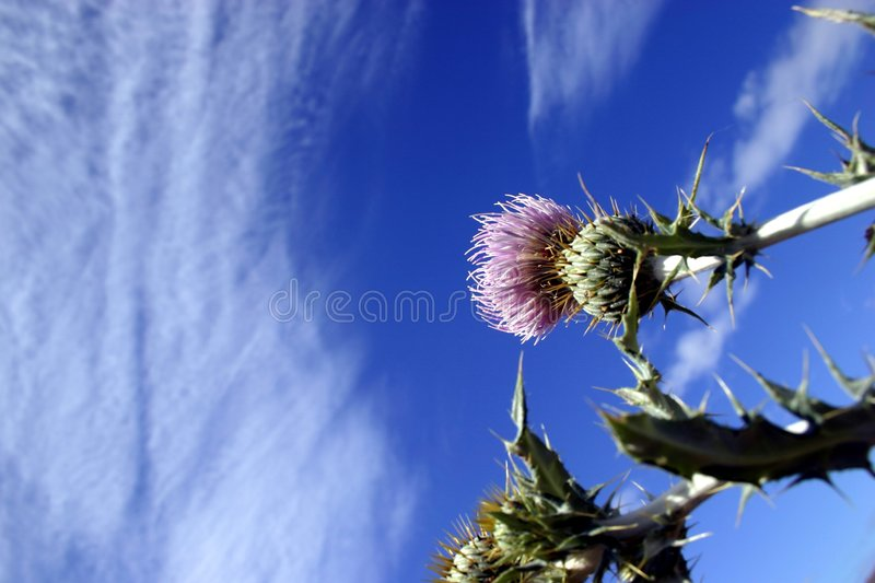 Canadian Thistle. Sky and Clouds royalty free stock photo