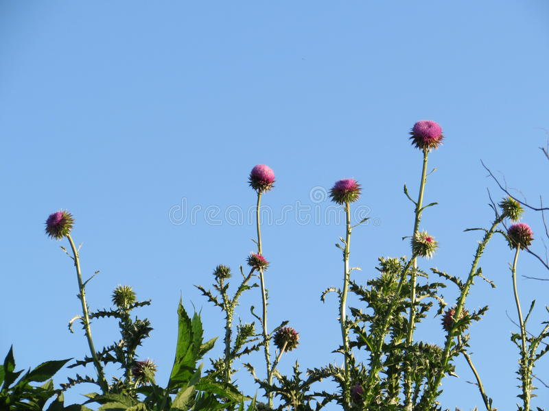Canadian Thistle Flowers Against Blue Sky. Growing wild in our area is the Canadian thistle stock image