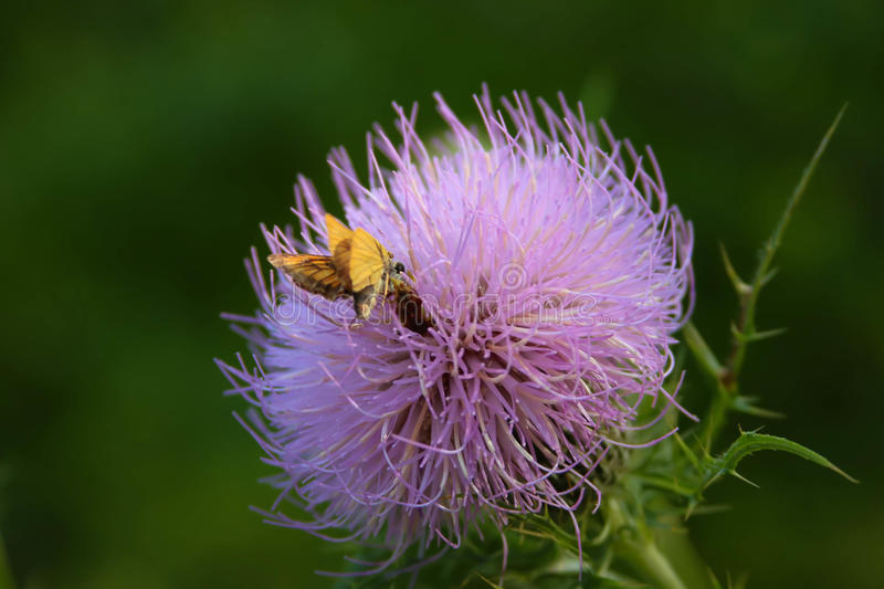 Canadian Thistle in Full Bloom. Small moth attracted to the floral scent of this Canadian Thistle in bloom. Vivid contrasting colors highlight the image well royalty free stock image
