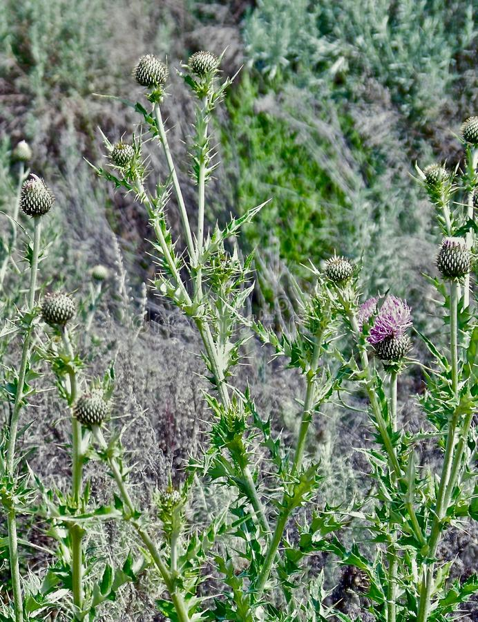 Canadian Thistle, Okanagan Valley, British Columbia. Closeup of typical Canadian weed and native medicinal plants in fruit orchard royalty free stock photos