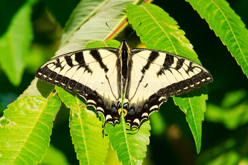 Canadian Tiger Swallowtail Butterfly - Papilio canadensis. Canadian Tiger Swallowtail Butterfly perched on a leaf. Carden Alvar Provincial Park, Kawartha Lakes stock images