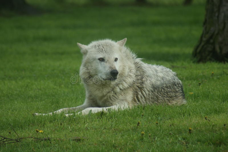 Canadian Timber Wolf - Canis lycaon royalty free stock photos