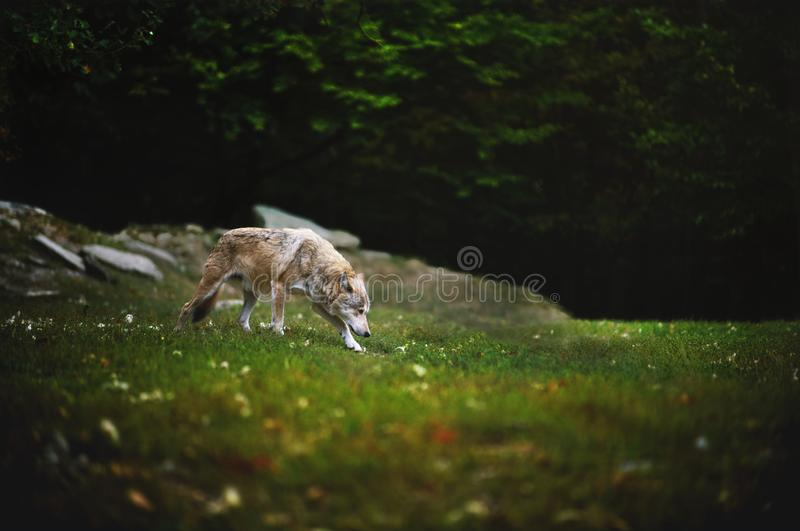 Canadian Timber Wolf in motion. The Wolf walking and sniffing on meadow with dark forest on backround. royalty free stock photo