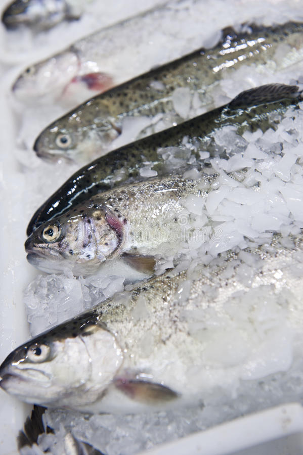 Canadian Trout Stock Images
