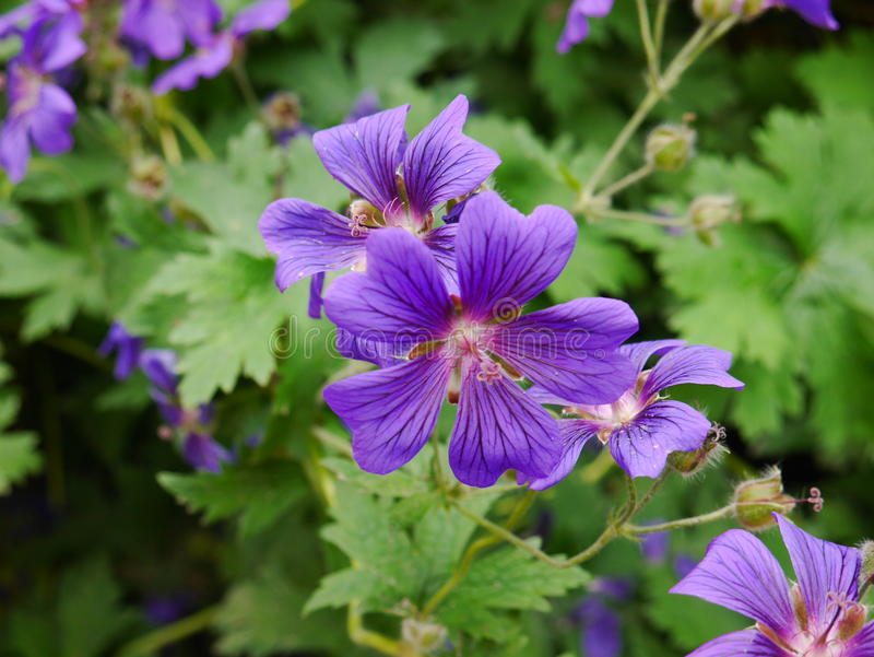 Canadian violet royalty free stock images