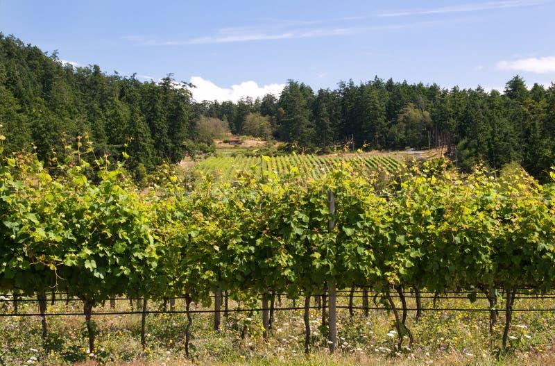 Canadian West Coast Vineyard Royalty Free Stock Photo