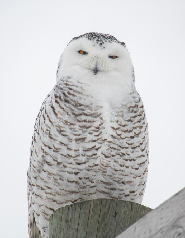 Snowy owl on top of a post royalty free stock photography