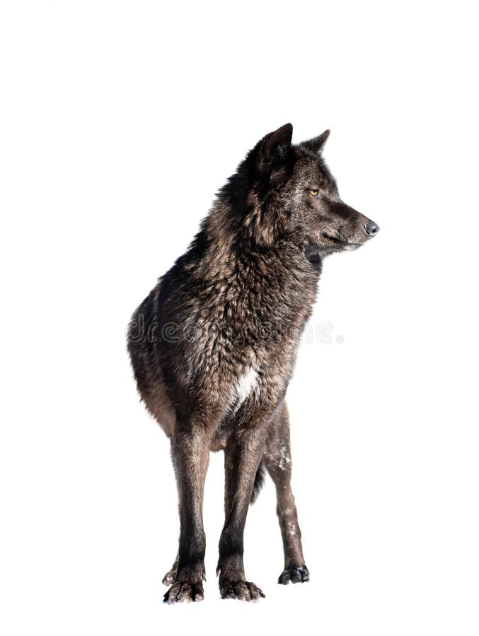 Free Canadian Wolf Isolated On White Background Stock Photography - 219751132