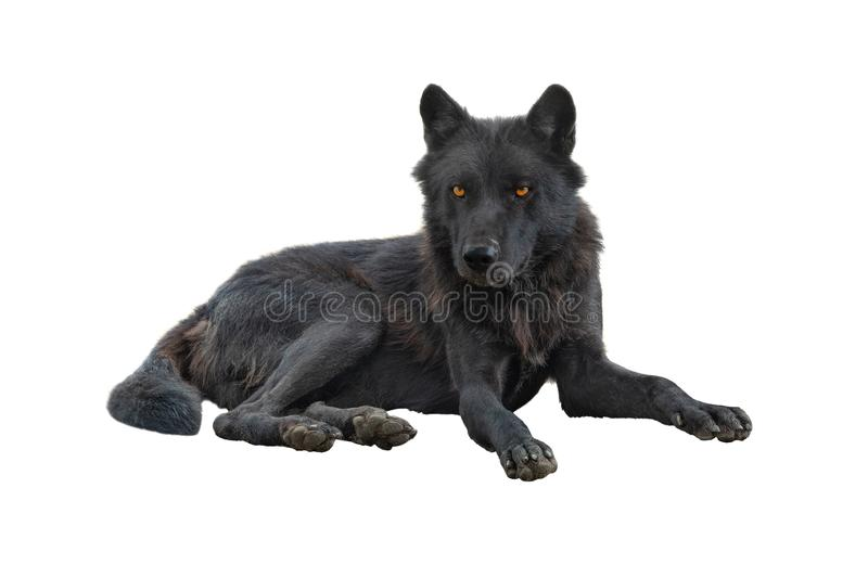 Canadian wolf isolated on white royalty free stock photo