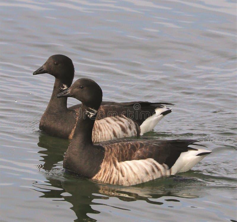 Canadien Brant Goose sur l'Océan Atlantique image libre de droits