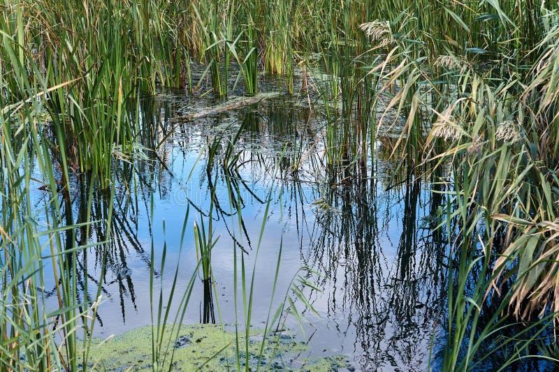 Canal de água coberto de vegetação com os juncos imagens de stock royalty free