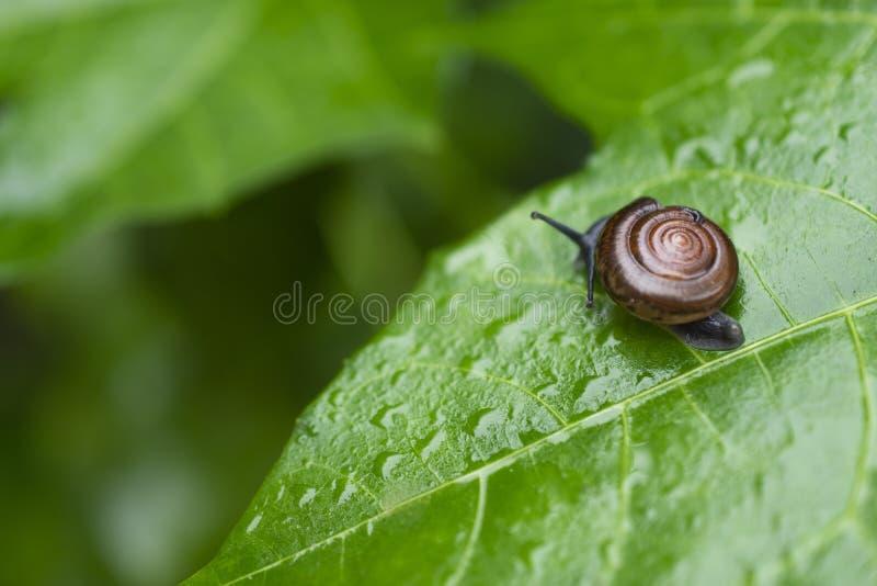 Canaliculata Pomacea или золотая улитка яблока идут на зеленые лист в крупном плане утра стоковые изображения