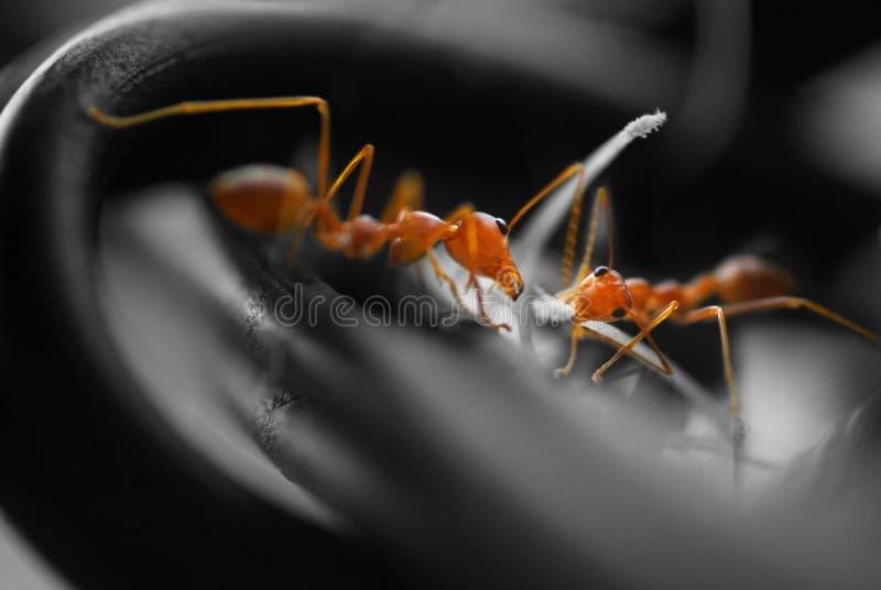 Canalisations de raccordement occupées de fourmis images stock