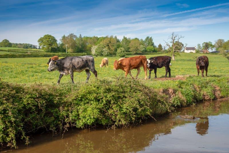 Canalside牛在威尔士 库存照片
