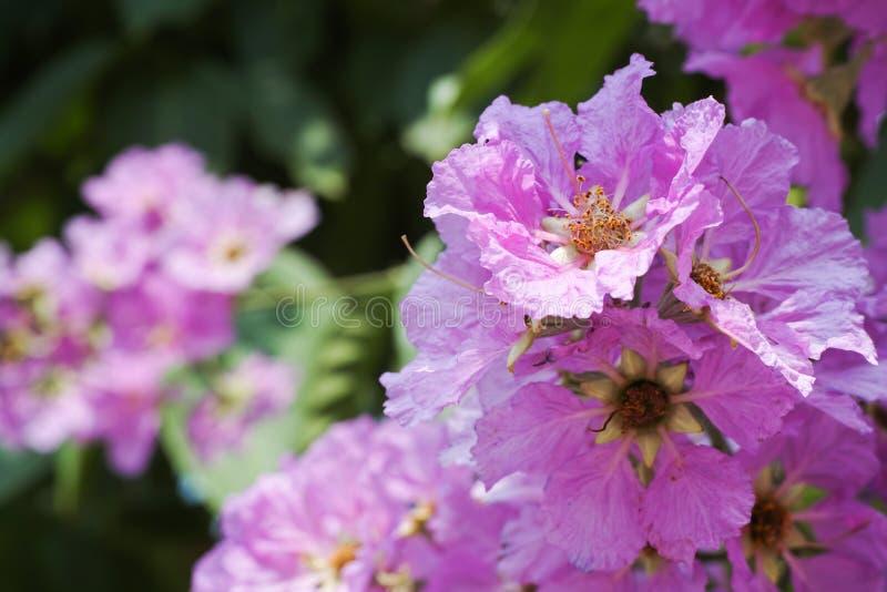 Cananga cor-de-rosa foto de stock