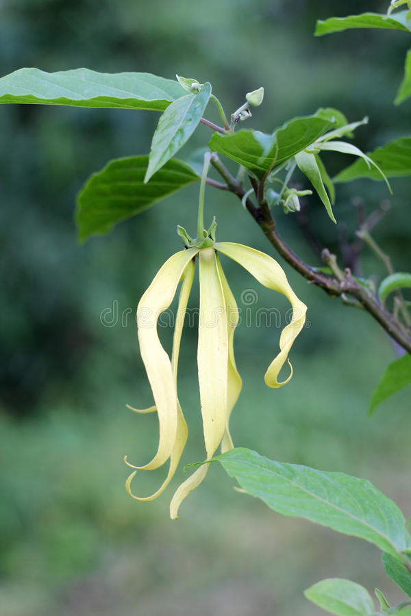 Download Cananga stock image. Image of perfume, plant, aroma, garden - 35618499