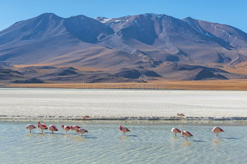 Canapa lagunlandskap med flamingo, Bolivia arkivfoto