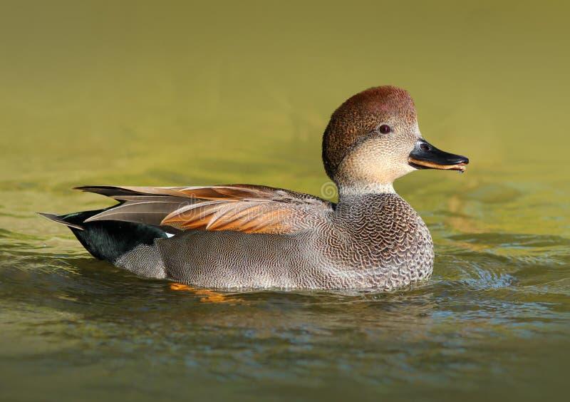 Canapiglia maschio Duck Swimming nell'acqua fotografia stock libera da diritti