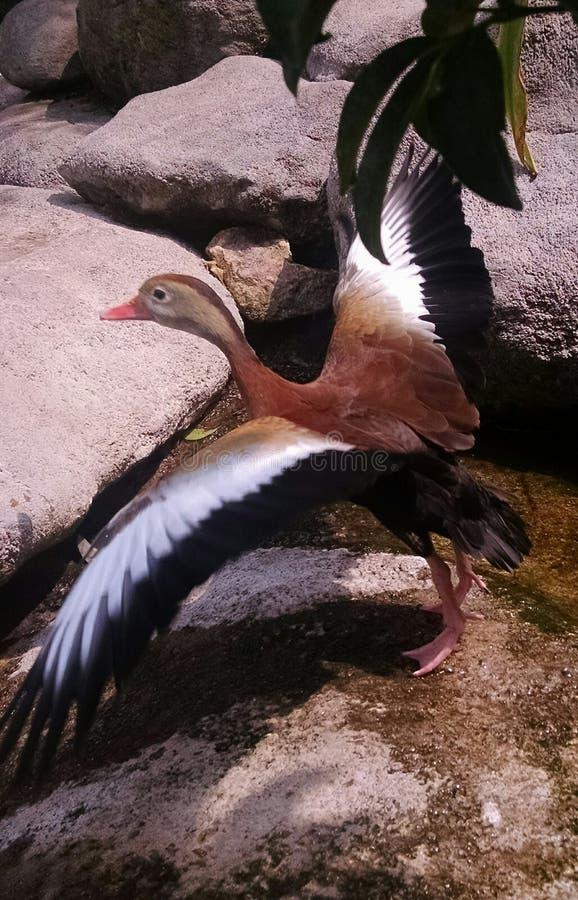 Canard à voler photographie stock libre de droits