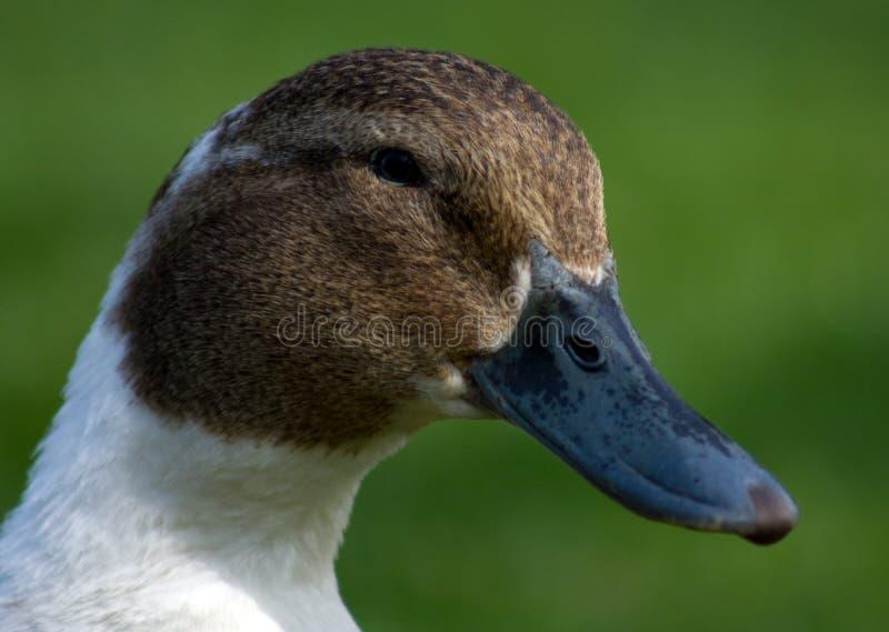 Canard image stock