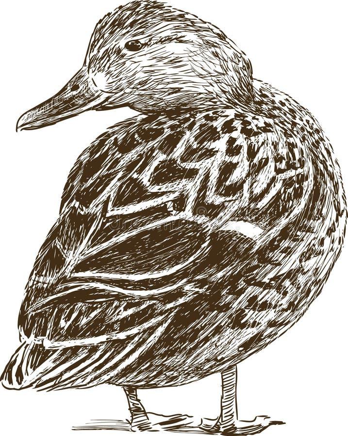 Canard illustration stock
