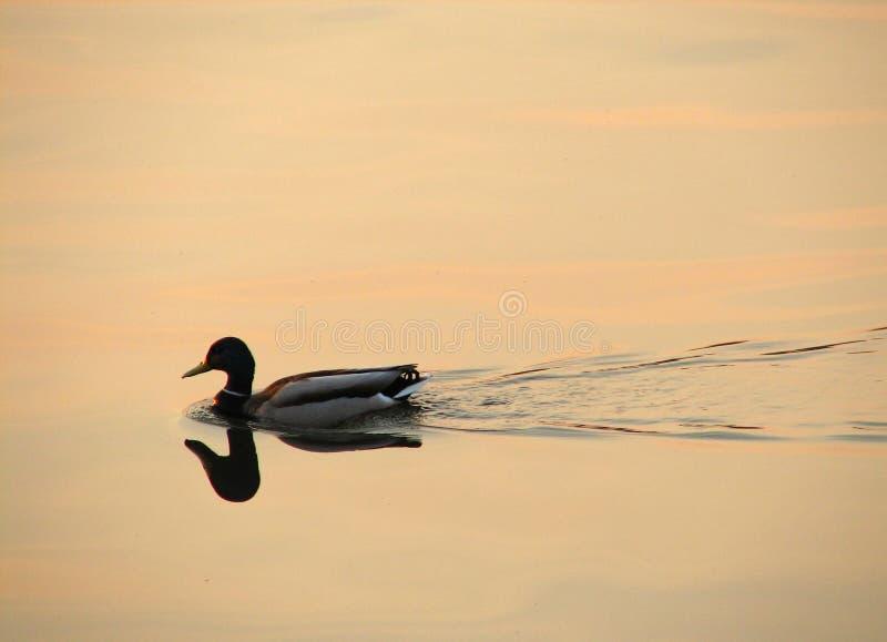 Download Canard image stock. Image du nature, clavette, nourriture - 739955