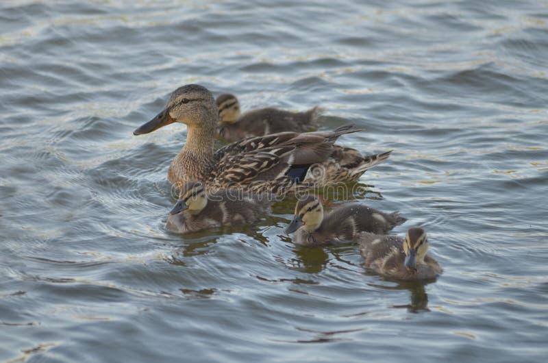 Canard avec des bains de canetons sur le lac photographie stock libre de droits