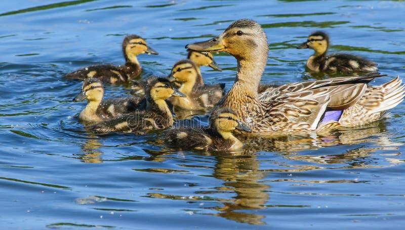 Canard avec des canetons sur l'eau bleue images libres de droits