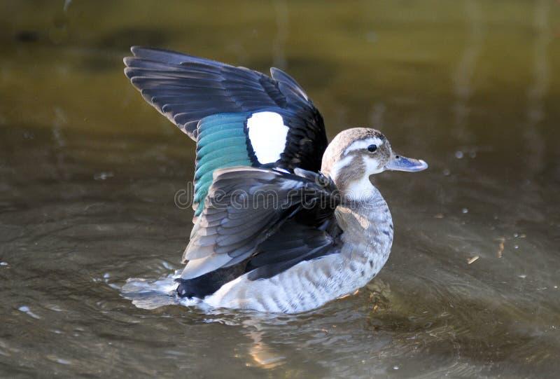 Canard avec la diffusion d'ailes photos libres de droits
