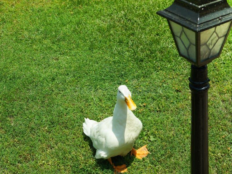 Canard blanc sur une pelouse verte photographie stock libre de droits