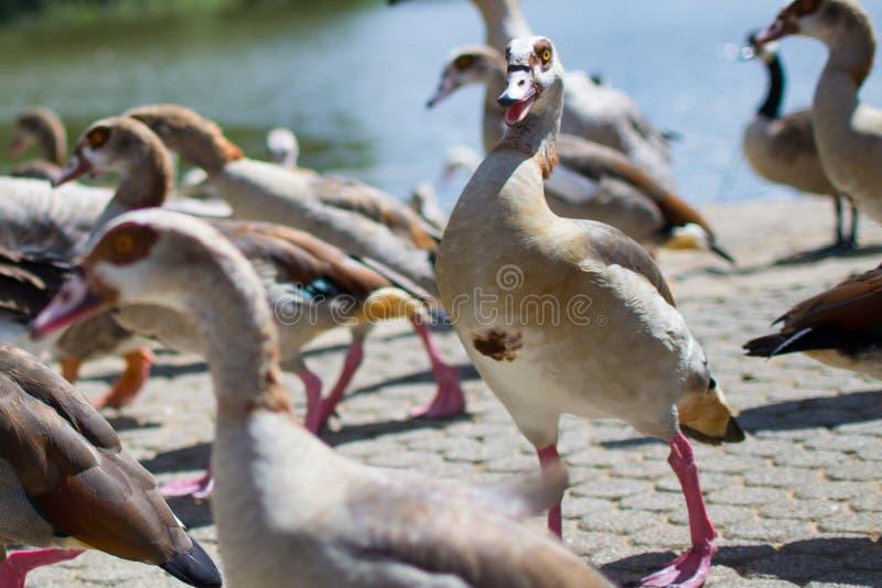 Canard brun fâché avec un visage fou Illustration dr?le photo libre de droits