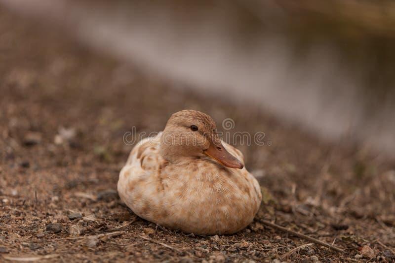 Canard chiné photo libre de droits
